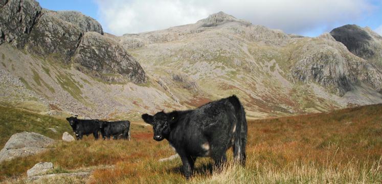 Cattle grazing on Great Moss below Scafell Pike - copyright LDNPA