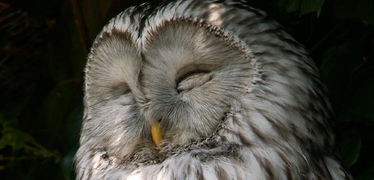 Sleeping owl copyright Andrea Hills