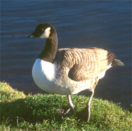 Canada goose copyright Arthur Grosset
