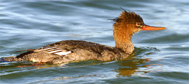 Red-breasted merganser copyright Peter Wallack
