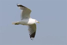 Common gull copyright Arthur Grosset