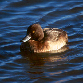 Tufted duck copyright Arthur Grosset