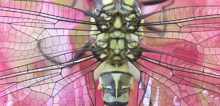Closeup of a Southern Hawker dragonfly copyright Julia Knott