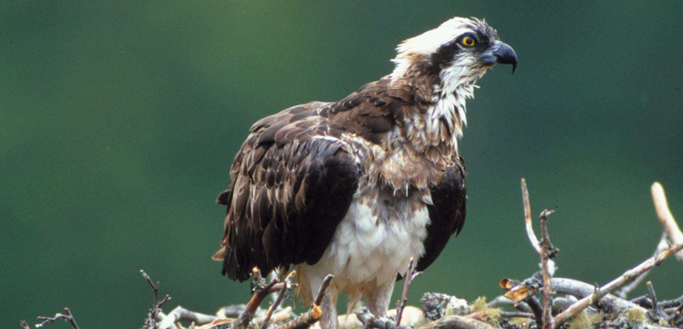 Osprey on nest copyright RSPB