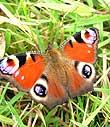 Peacock butterfly copyright Julia Knott