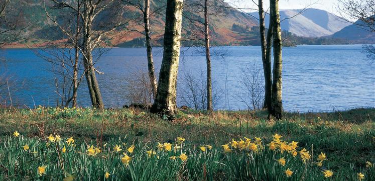 Daffodils by Ullswater copyright Val Corbett