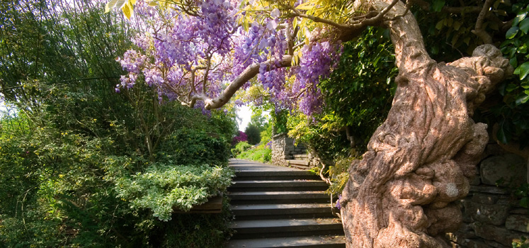 Wisteria over path at Brockhole - The Lake District Visitor Centre copyright Teresa Hills