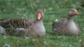 Greylag goose copyright Arthur Grosset