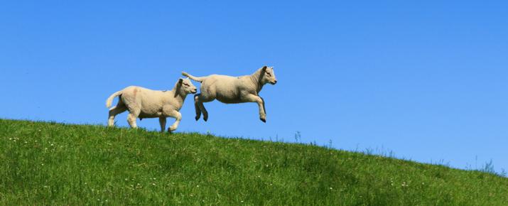 Lake District spring lambs