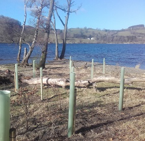 New trees being planted on the shore of Ullswater