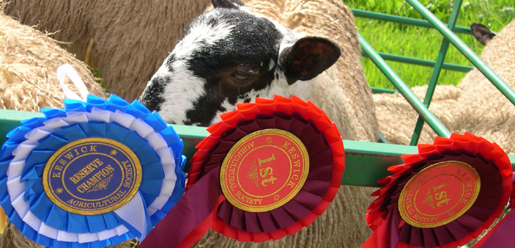 Sheep and rosettes copyright Michael Turner