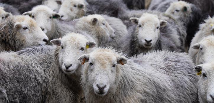 Herdwick sheep in a group