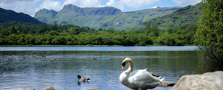 Swan on Elterwater