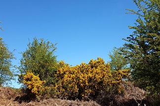 Gorse bush in flower