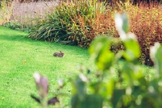 A rabbit enjoying the Brockhole on Windermere gardens.