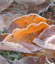 Frozen leaf copyright Karen Barden