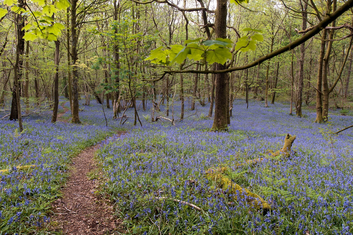 Nick Thorne, Bodian Photography, Bluebells
