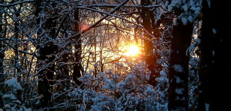 Sun through snowy trees