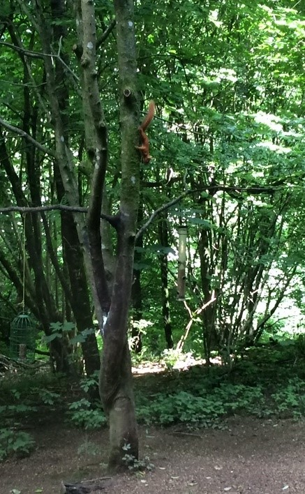 Brockhole red squirrel