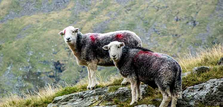 Herdwick sheep in Borrowdale Valley - copyright Andrew Locking