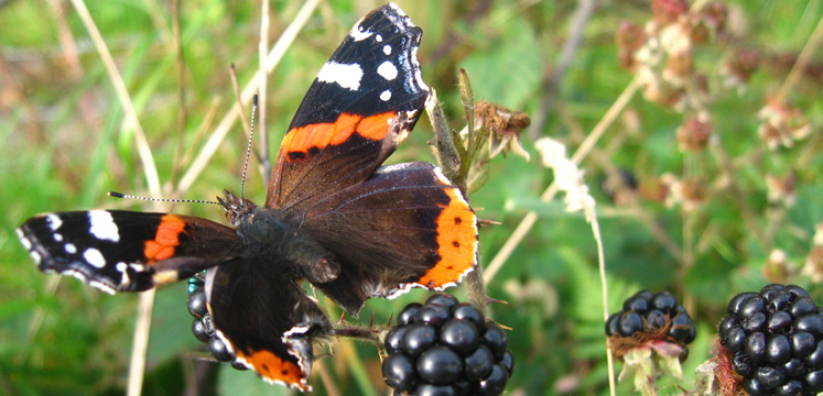 Red Admiral butterfly copyright LDNPA