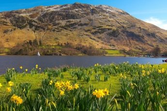 Beautiful daffodils in from of majestic mountains at Ullswater