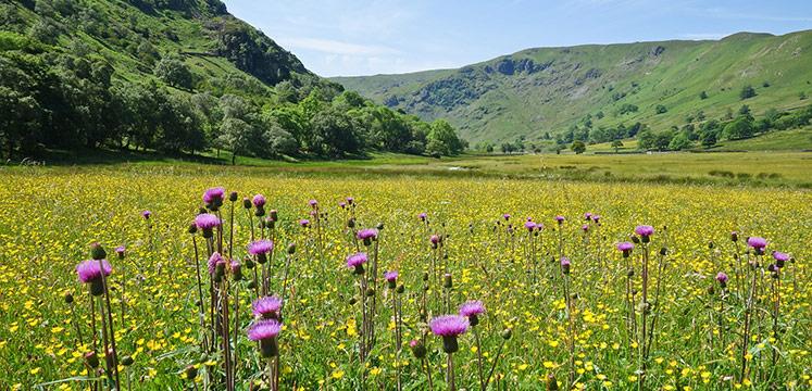 Hay meadow flowers in Swindale.