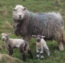 A ewe with two lambs