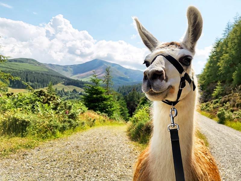 An alpaca walking in the Lake District