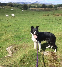 Puppy on a lead in a field of sheep.