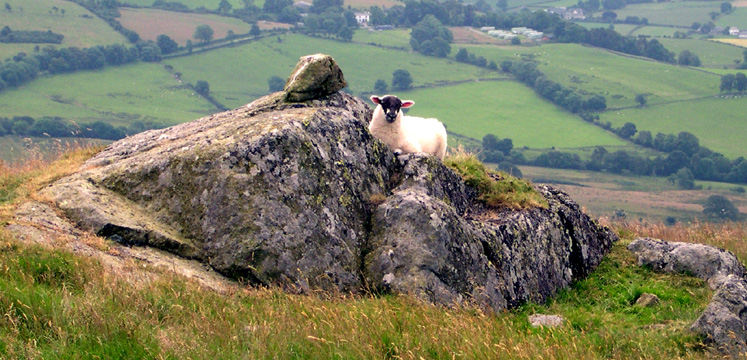 Lamb on rocky outcrop copyright Michael Turner